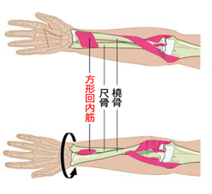 方形回内筋と前腕メカニズム